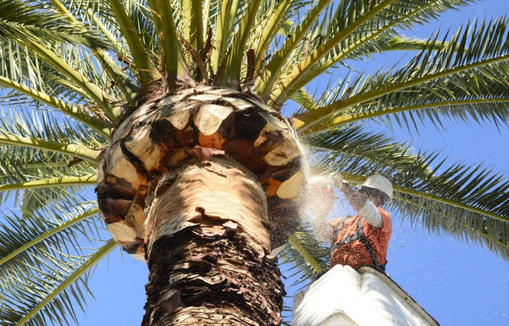 Palm-Tree-Trimming-Amarillo Tree Trimming and Stump Grinding Services-We Offer Tree Trimming Services, Tree Removal, Tree Pruning, Tree Cutting, Residential and Commercial Tree Trimming Services, Storm Damage, Emergency Tree Removal, Land Clearing, Tree Companies, Tree Care Service, Stump Grinding, and we're the Best Tree Trimming Company Near You Guaranteed!